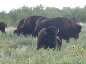 Official Texas Bison Herd