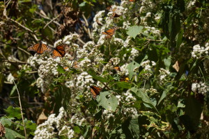Monarchs seem to prefer white flowers.