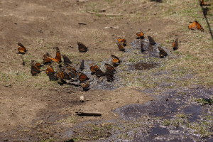 Monarchs drinking from pools of water.